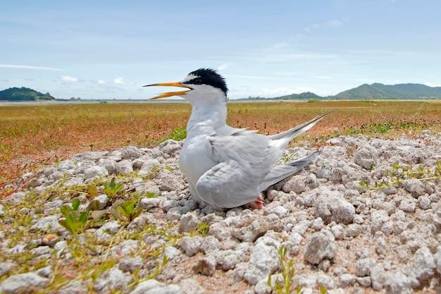 Little tern sternula albifrons uccelli e paesaggio