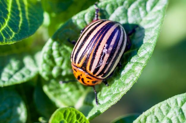 Lo scarabeo di patata del colorado mangia le foglie della patata, primo piano.