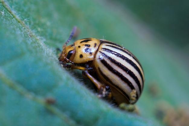 Lo scarabeo di patata del colorado si siede su una foglia, il primo piano, macro foto
