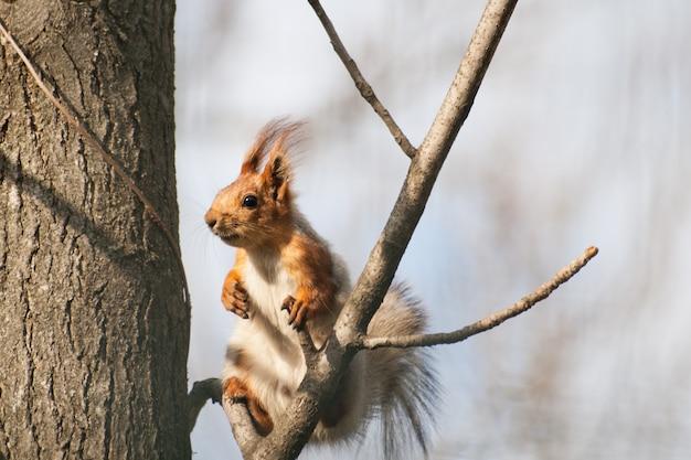 Lo scoiattolo con le nappe sulle orecchie si siede su un ramo di albero.