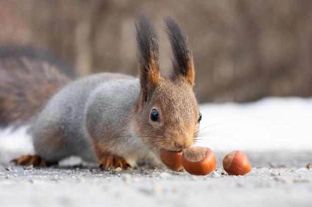 Lo scoiattolo sgranocchia i dadi sulla neve