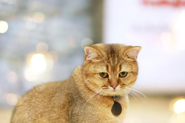 Lo shorthair americano ha sorpreso i grandi occhi del fronte divertente del gattino o del gatto che si godono.