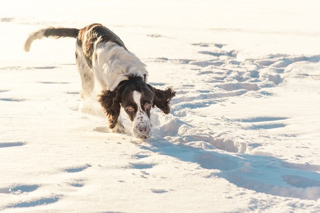 Lo spaniel di springer del cane esamina la macchina fotografica e funziona sul campo di neve in natura dell'inverno