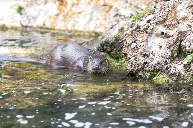 Lontra su una roccia nell'acqua