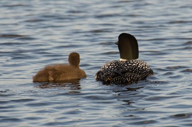 Loon comune (gavia immer) con il suo giovane in un lago, lake of the woods, ontario, canada