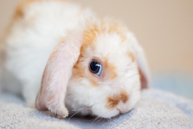 Lop orecchio piccolo coniglio arancione e bianco, coniglio