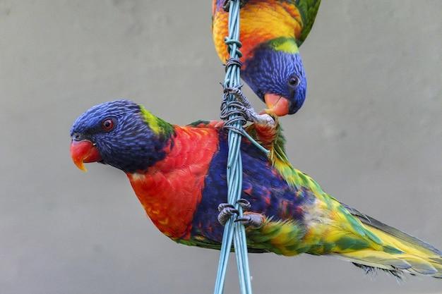 Lorichetto arcobaleno uccelli arroccati su un cavo