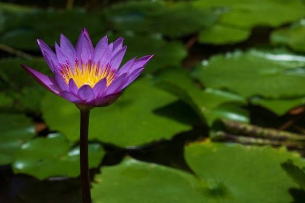 Loto giallo viola in fiume naturale