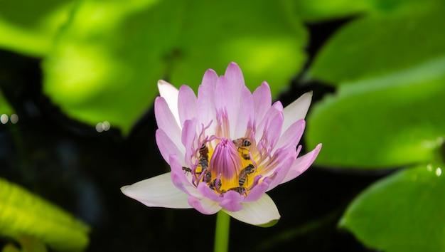 Loto rosa e loto verde della foglia nel fiume