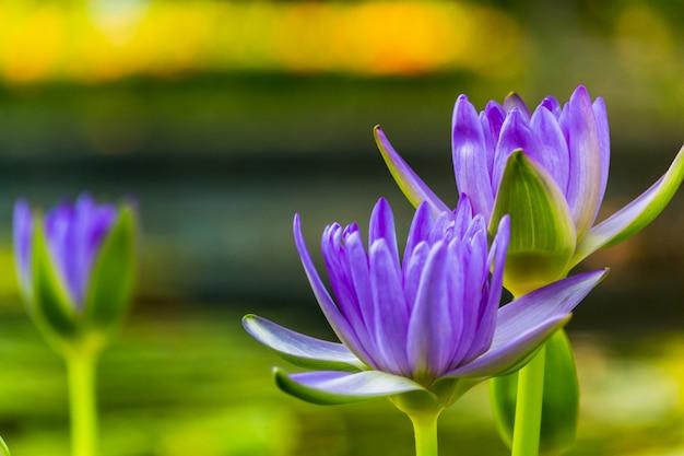 Loto viola come scintilla per lo sfondo bokeh fiori per il culto di dio nei giorni della religione.