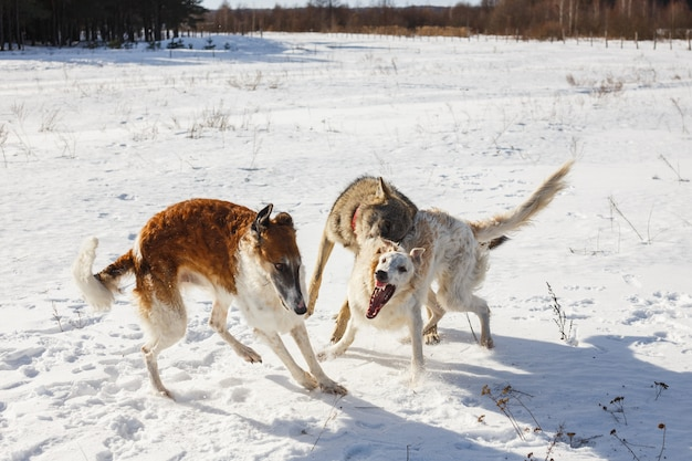Lotta di due cani da caccia di un cane e un lupo grigio in un campo innevato.