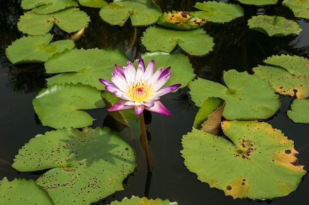 Lotus in fiore sulla superficie piana dell'acqua