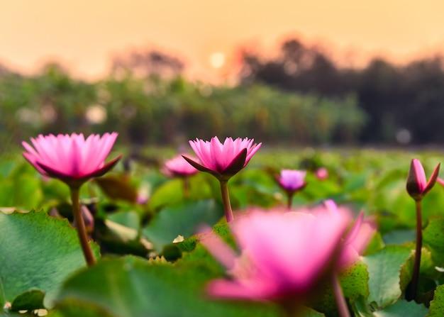 Lotus rosa con foglia verde che fiorisce nella palude