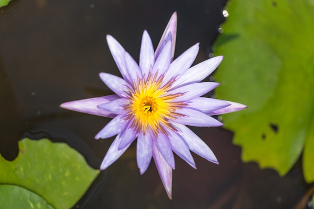 Lotus viola