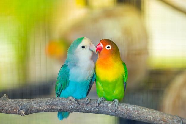 Lovebird kiss