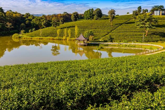 Luce del mattino nella piantagione di tè verde di choui fong, uno dei luoghi più belli del turismo agricolo nel distretto di mae chan