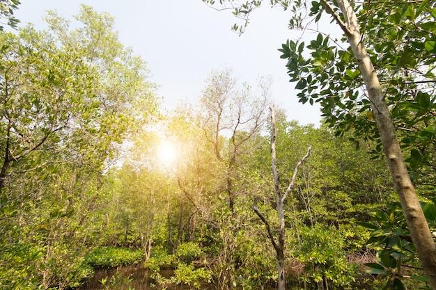 Luce solare nelle mangrovie