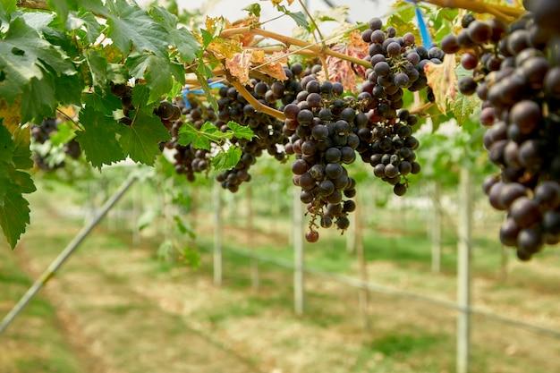 Luce soleggiata alta vicina della frutta dell'uva