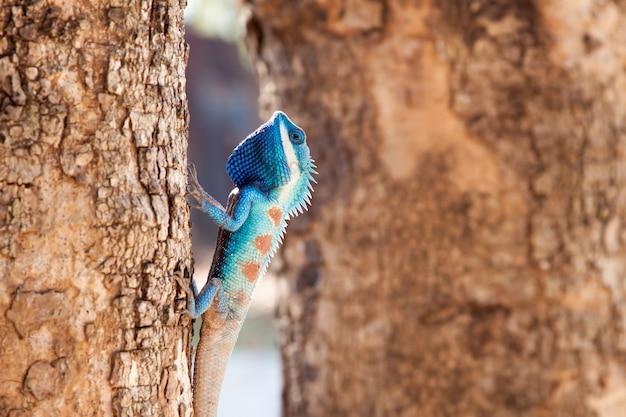Lucertola crestata blu che sale l'albero