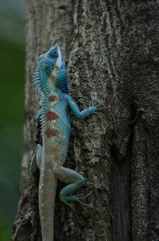 Lucertola dalla cresta blu o lucertola della foresta indo-cinese