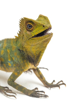 Lucertola del drago della foresta del camaleonte