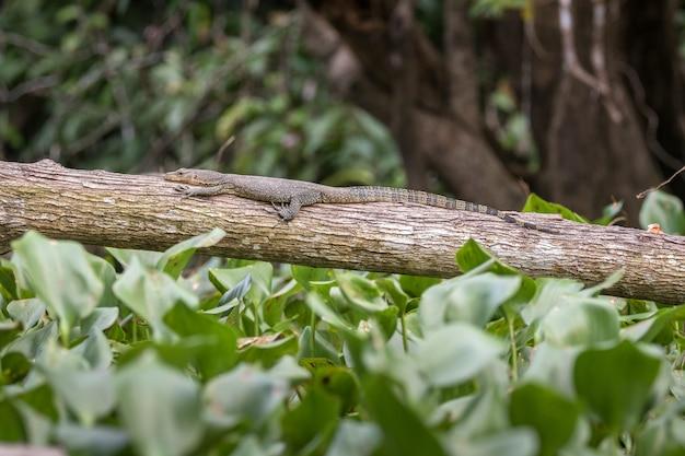 Lucertola di monitor che riposa su un albero caduto