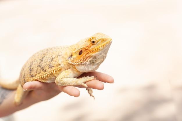 Lucertola iguana colorata brillante gialla che tiene sulla mano
