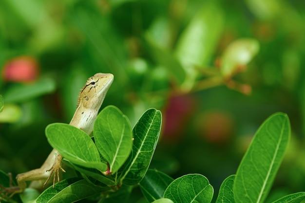 Lucertola o camaleonte di albero sulla punta degli alberi, chiusa su