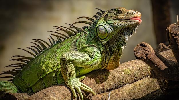 Lucertola verde dell'iguana