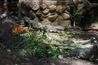 Lucertole allo zoo di surabaya