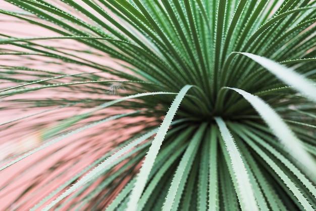 Lungo; acuto; foglie spinose di una pianta di cactus