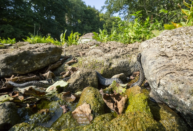 Lungo serpente che striscia sulla roccia vicino all'acqua