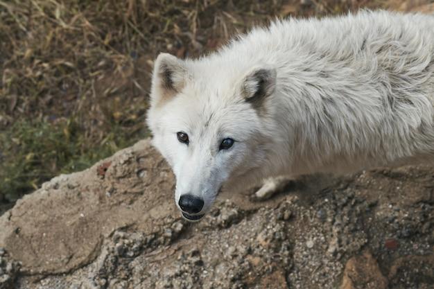 Lupo bianco artico in via di estinzione