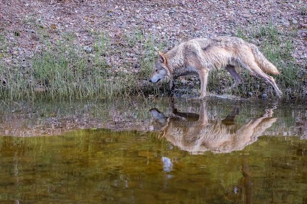 Lupo della tundra che cammina lungo un fiume con la riflessione sull'acqua