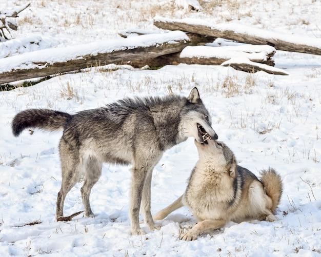 Lupo della tundra che dimostra un comportamento sottomesso all'alfa maschio nella neve invernale