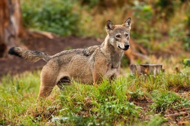 Lupo grigio, canis lupus, in piedi e osservando il suo territorio forestale