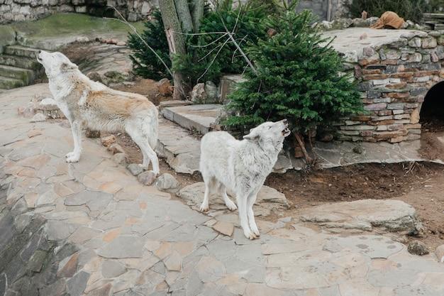 Lupo grigio nello zoo, animale selvatico