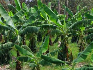 Lussureggiante boschetto di banana verde