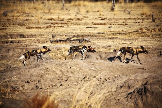 Lycaon pictus cani selvatici africani
