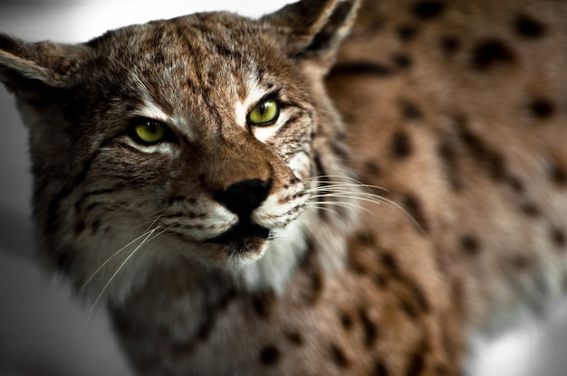 Lynx taxidermy