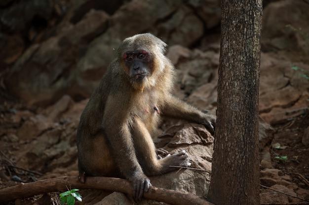 Macachi muniti ceppo che riposano sulla roccia in foresta, tailandia