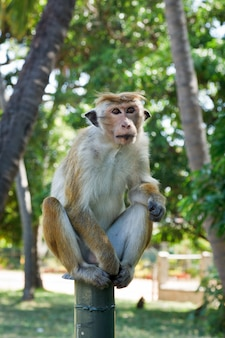 Macaco dalla coda lunga