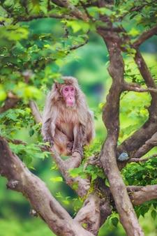 Macaco giapponese sul ramo, arashiyama, kyoto, giappone