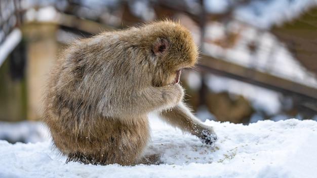 Macaque wildlife animal