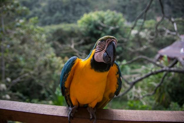 Macaw dal becco giallo a yungas coroico, bolivia
