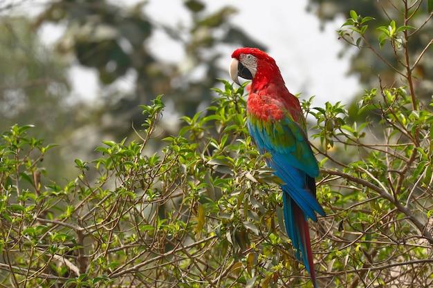 Macaw rosso e verde (ara chloropterus)