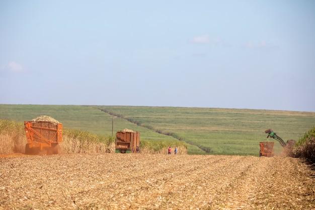Macchine che raccolgono piantagione di canna da zucchero