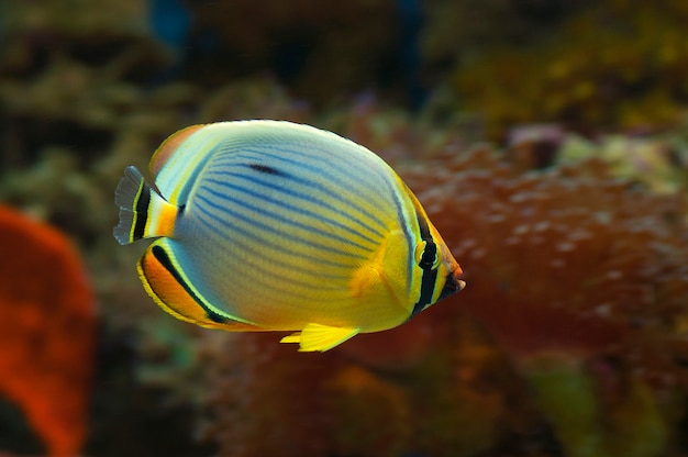 Macro close up di pesce marino chaetodon trifasciatus