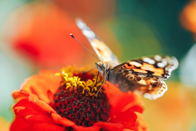 Macro del primo piano della farfalla di guscio di testuggine che si siede su un fiore del fiore