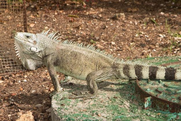 Macro del ritratto della lucertola dell'iguana, primo piano